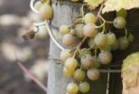 ЕС прие новите правила за производство на биологично вино